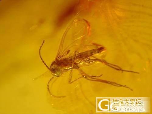 曾为老茯神,本是寒松液,蚊蚋落其中,..._虫珀琥珀